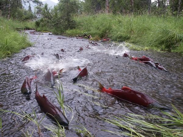 Source: NPR: Bright red sockeye salmon swim up the Fraser River to the stream where they were hatched. Current Biology, Putman et al.